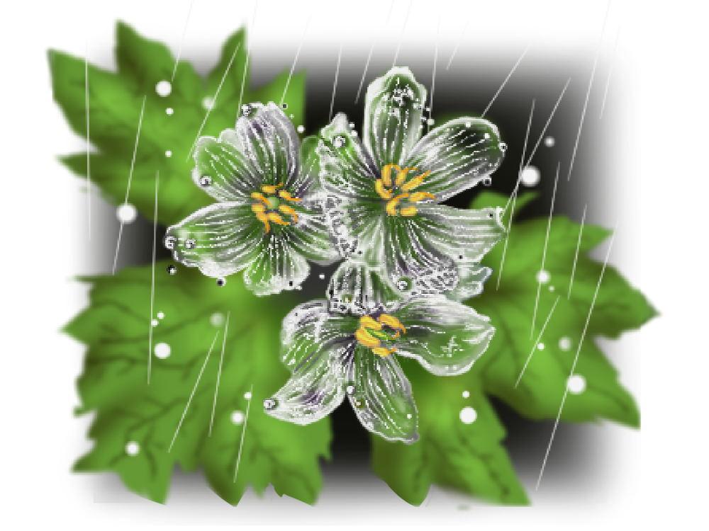 透明花サンカヨウ