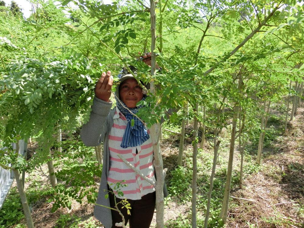 モリンガの木 モリンガ栽培の様子